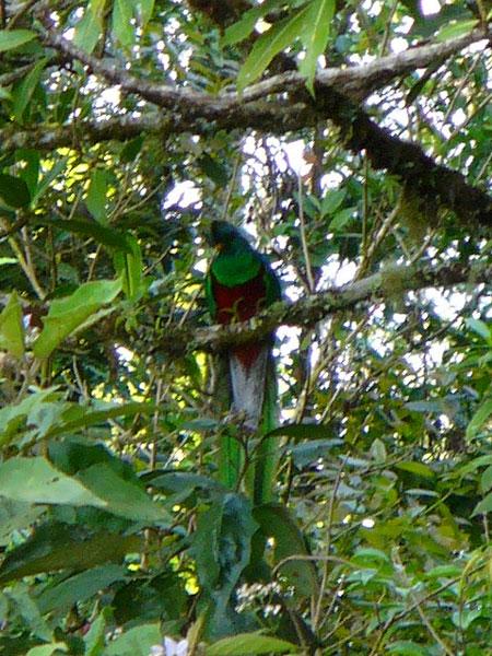 Resplendent-Quetzal-6-Opato