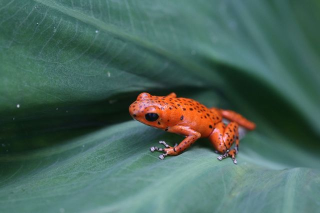 1280px-Red_poison_dart_frog
